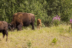 Bison calf and herd stock photo