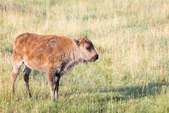 Bison Calf Stock Photo