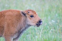 Bison Calf Stock Photos