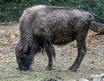 Bison calf 2 Royalty Free Stock Images