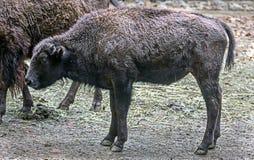 Bison calf 3. Bison calf. Latin name - Bison bison Stock Images