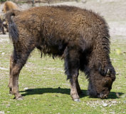 Bison 1 Royalty Free Stock Image