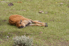 Bison Calf Laying on its side Royalty Free Stock Image