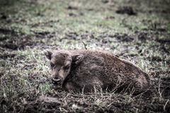 Bison calf lying on the grass. Tinted Stock Photography