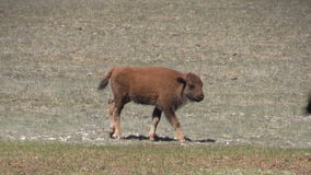 Bison Calf stock footage