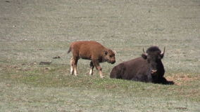 Bison Calf in Meadow stock video footage