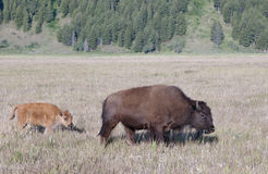 Bison and calf royalty free stock photos