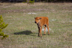 Bison Calf Stock Photos