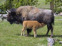 Bison Calf Nursing Stock Afbeeldingen