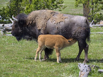 Bison Calf Nursing Stock Images