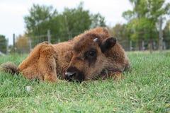 Bison Calf Resting Royaltyfria Foton