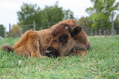 Bison Calf Resting Royalty Free Stock Photos