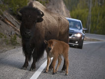 Bison Calf Roadblock Royalty Free Stock Images