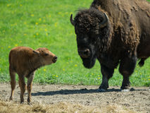 Bison calf standing with mother Royalty Free Stock Photo