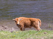 Bison Calf Stock Photography