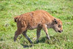 Bison Calf Walking på grönt gräs Arkivfoton