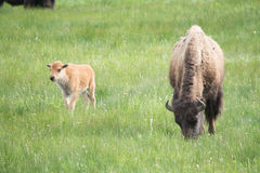 The Bison and Calf. This was a bison calf and its mother. The mother grazed while the calf wandered around in the field. The herd was a large size and therefore Stock Photos