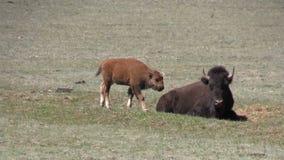 Bison Calf in Weide stock videobeelden