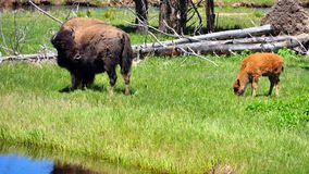 Bison & calf. Yellowstone National Park Stock Photography