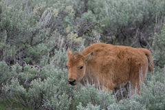 Bison Calf in Yellowstone National Park. A bison calf in sagebrush in Yellowstone National Park royalty free stock image