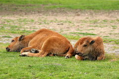 Bison Calves Stock Photo