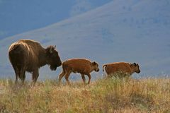 Bison with calves Stock Photos
