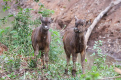 Bison calves in forest. Stock Photo
