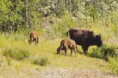 Bison Calves Grazing Stock Photo