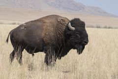 Bison change the fur in Antelope island state park stock photo
