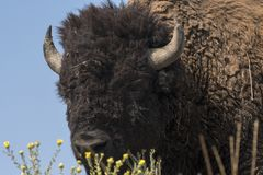 Bison change the fur in Antelope island state park royalty free stock image