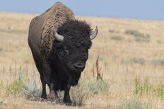Bison change the fur in Antelope island state park royalty free stock images