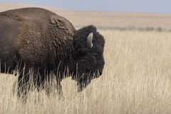 Bison change the fur in Antelope island state park royalty free stock photo