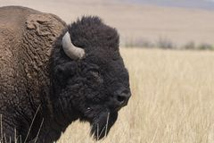 Bison change the fur in Antelope island state park stock photos