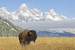 Bison chez Teton grand Image libre de droits