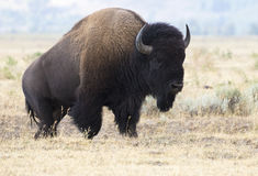 Bison climbing hill in Hayden Valley Royalty Free Stock Image