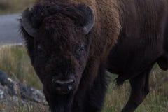 Bison Close acima Imagem de Stock
