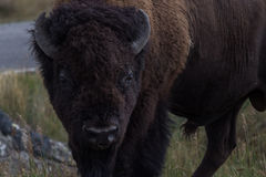 Bison Close up. Close up of a Bison Stock Image
