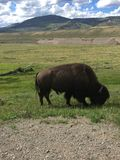 Bison close up. Buffalo wildlife Yellowstone Royalty Free Stock Photos