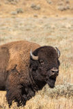 Bison Close Up Royalty Free Stock Photography