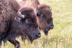 Bison Closeup View arkivfoton