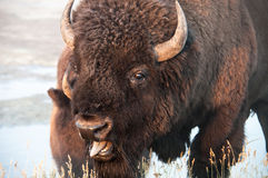 Bison. Closeup of a bison at Yellowstone national park Royalty Free Stock Photography