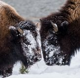 Bison Bison bison commonly called Buffalo surviving the brutal winter in Yellowstone National Park, WY, USA royalty free stock images