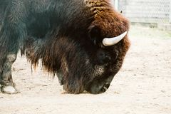 Bison in a zoo royalty free stock image