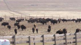 Bison Corral con la cerca Line almacen de metraje de vídeo
