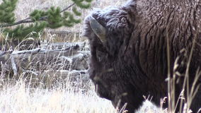 Bison Cose up stock footage