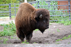The bison costs half-turned in the shelter of a zoo Stock Photos