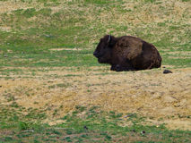 Bison in countryside. American bison resting in countryside scene Stock Image