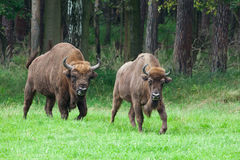 Bison couple. Couple of bisons behind the woods Royalty Free Stock Photo