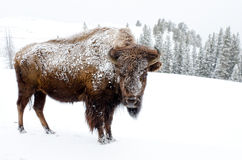 Bison Covered i snö, Yellowstone nationalpark Arkivfoto