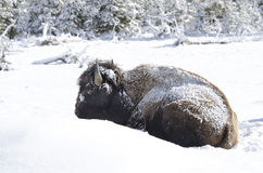 Bison Covered im Schnee, Yellowstone Nationalpark Stockbilder
